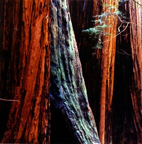 Four Redwoods
