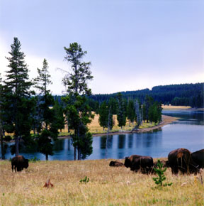 Bison and the Yellowstone River