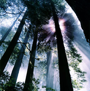 Forest Corona, Redwood National Park