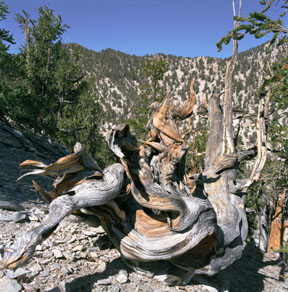 Bristlecone  Deadwood