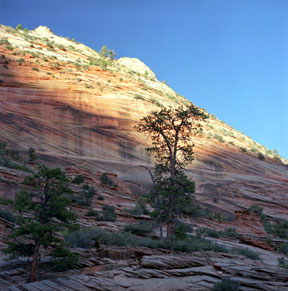 Navajo Sandstone and Pine