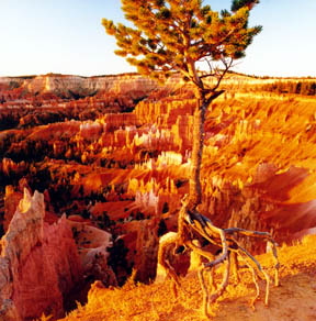 Walking Tree of Bryce Canyon