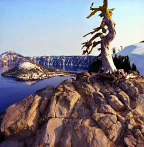 Whitebark Pine and Wizard Island