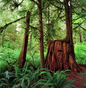 Regrowth, Quinault Rainforest