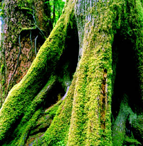 Coat of Moss, Quinault Rainforest