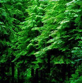 Pattered Western Hemlock, Queets Rainforest