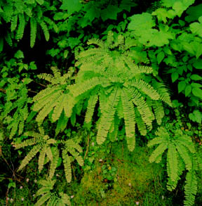 Maidenhair Fern, Hoh Rainforest